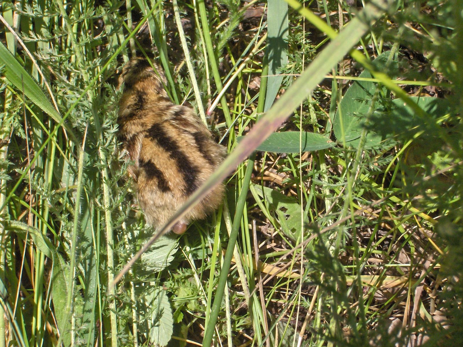Un pui de fazan in iarba