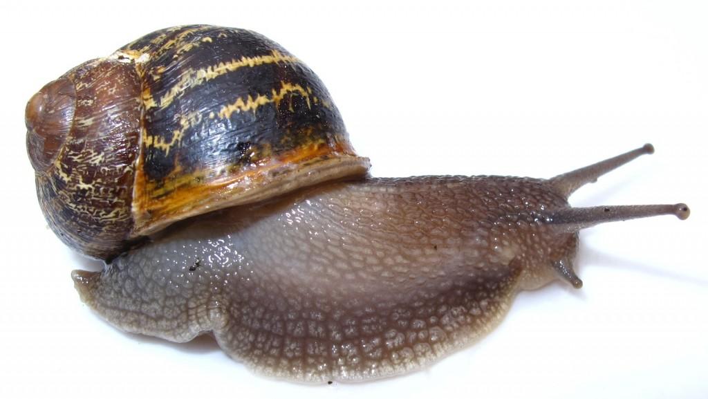 Los caracoles matan a 10.000 personas cada año Caracol